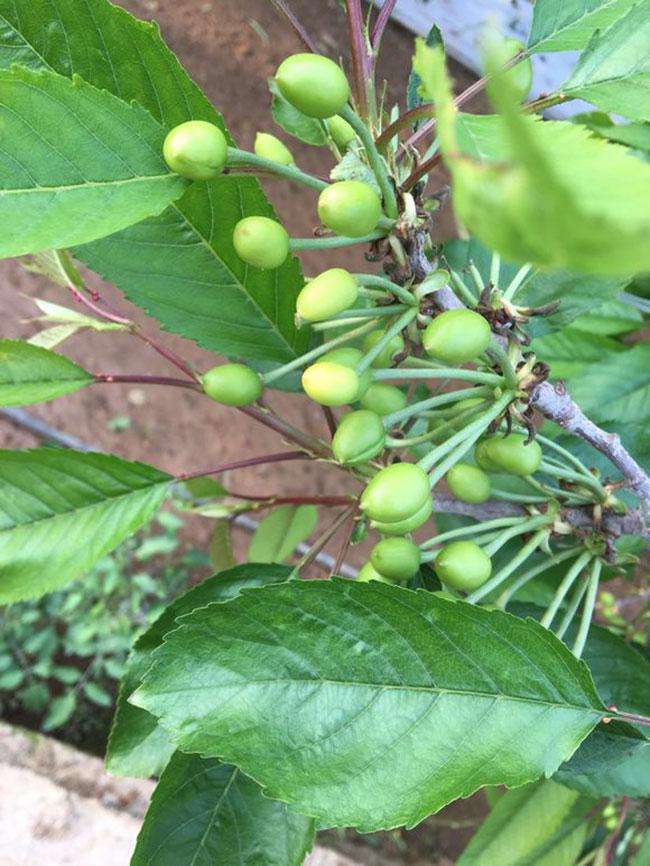 黄蜜大樱桃几年结果?