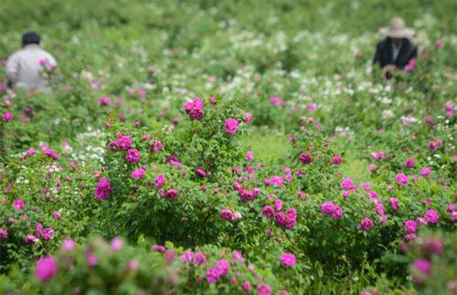 人大代表杨莹提出应大力发展天然芳香产业