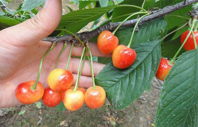 黄蜜樱桃几月成熟?