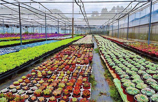 新疆和布克赛尔县:温室花卉基地花开烂漫