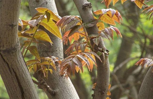 四川种植户:2亩香椿每年能卖上万元
