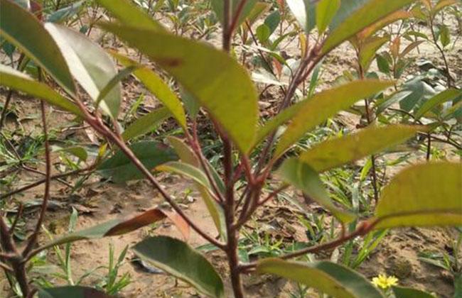 红叶石楠最佳播种繁殖时间