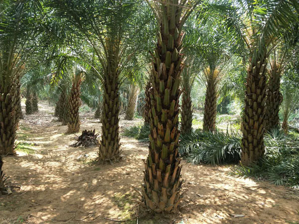 浅析中东海枣的景观价值