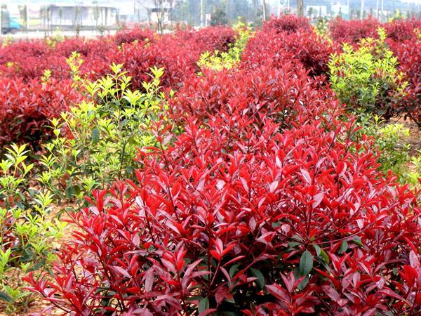 红叶石楠这样管理,它的叶子会更红!