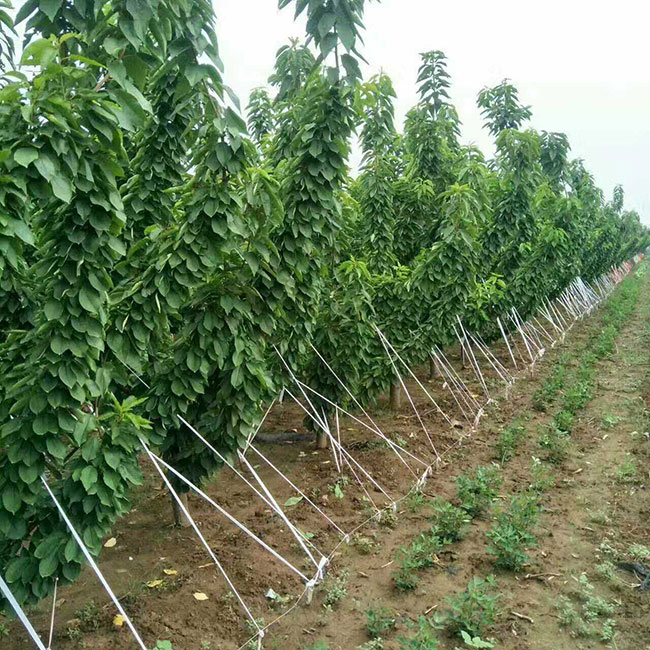 美国车厘子树苗繁育基地