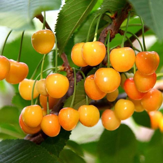 种植黄蜜大樱桃提高结果率的方法