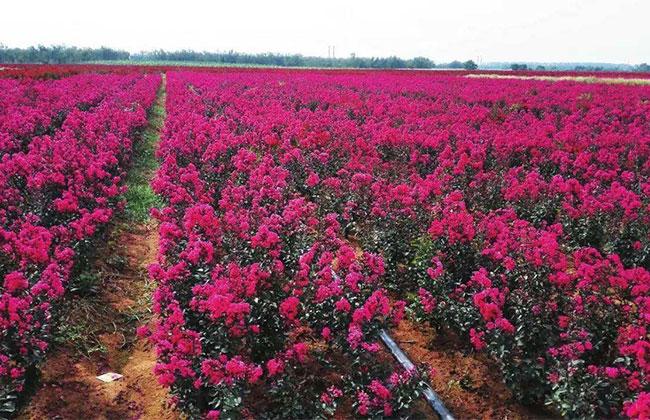 紫薇等乡土树种涨幅加速