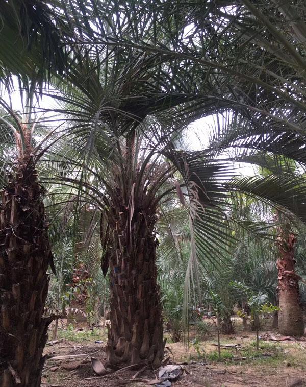 布迪椰子树耐寒吗?