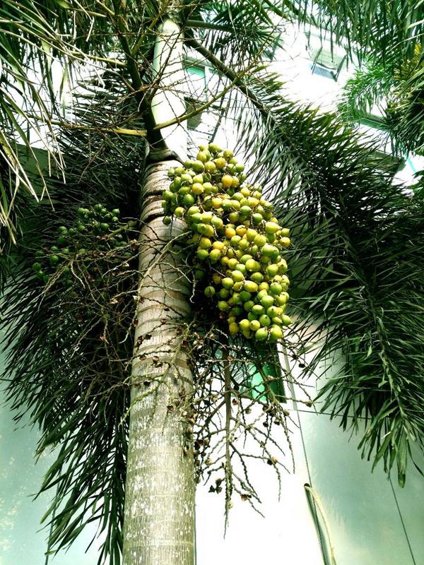 狐尾椰子树.jpg