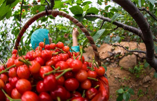 天地一号樱桃多少钱一斤?