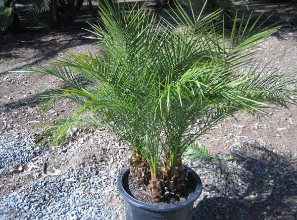 布迪椰子盆栽