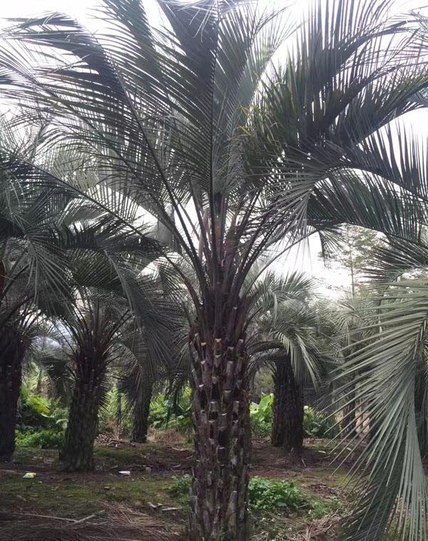 布迪椰子树的修剪方法