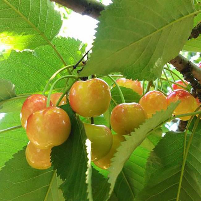 黄蜜大樱桃树苗价格