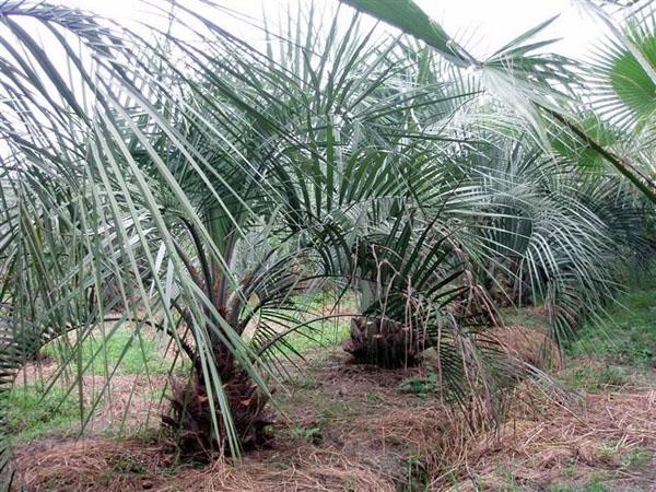 盆栽布迪椰子的养护方法