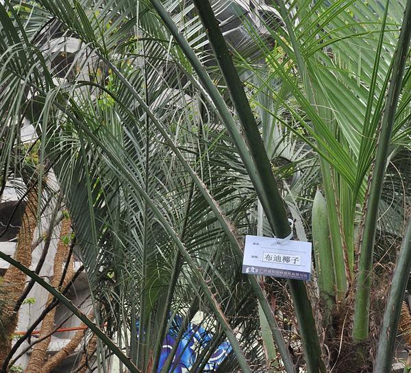 布迪椰子树栽培管理技术