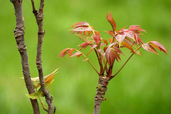 农村香椿价格高,种植香椿树可致富!