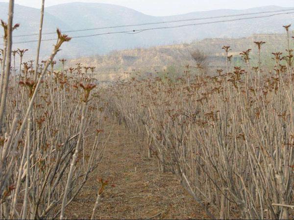 香椿树的种植方法