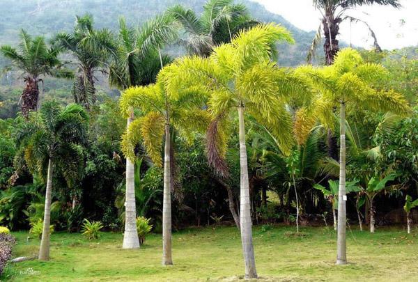 狐尾椰子常见病虫害有哪些?病虫害防治方法介绍
