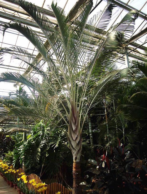 布迪椰子价格多少钱?布迪椰子跟三角椰子的区别有哪些?