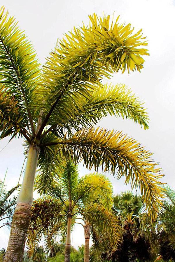 狐尾椰子叶斑病的防治方法和养护注意事项