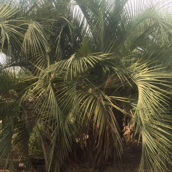 布迪椰子叶斑病的发病时间是什么时候?叶斑病防治方法介绍