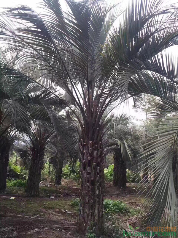布迪椰子叶斑病