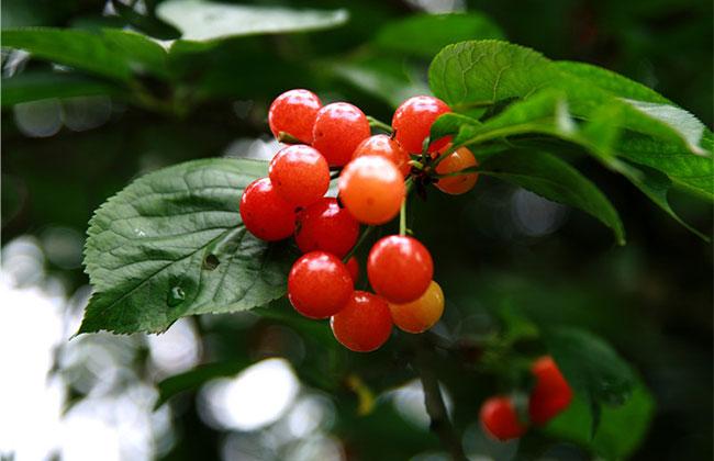 美早樱桃吃起来怎么样?