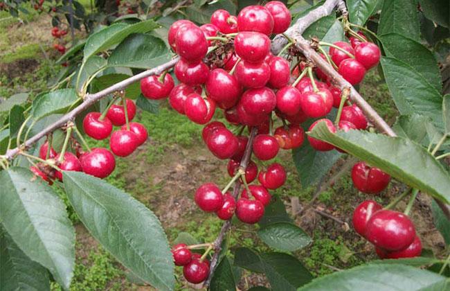 美早樱桃市场价格多少一斤?一亩地产多少斤果?