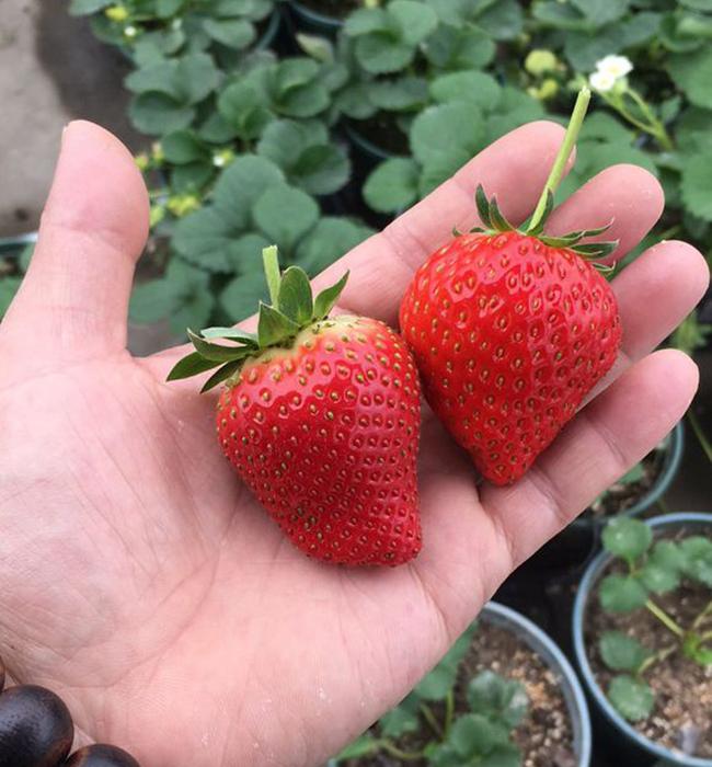 甜查理草莓好吃吗