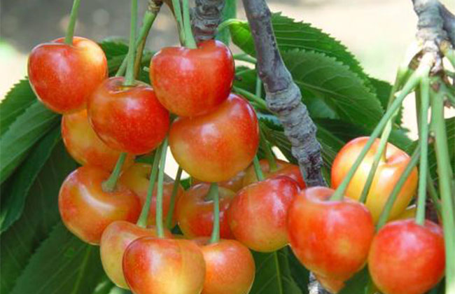 明珠樱桃苗