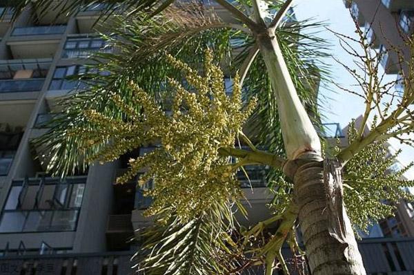 狐尾椰子什么时候开花?