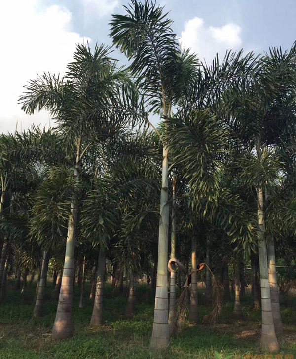 狐尾椰子的园林用途