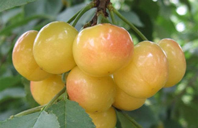 明珠樱桃多久结果?