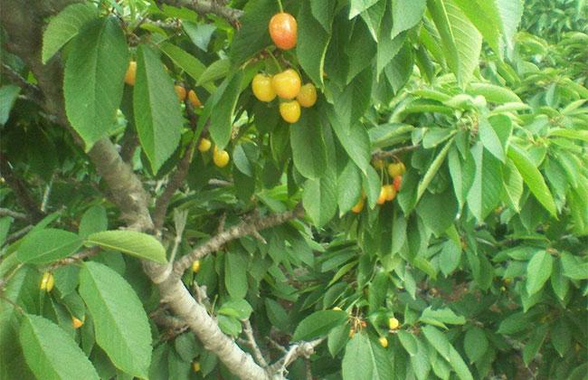明珠樱桃几月成熟?