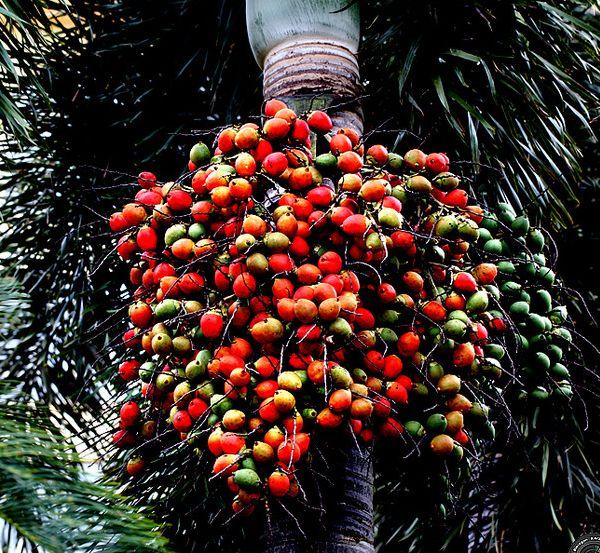 狐尾椰子果实可以吃吗?
