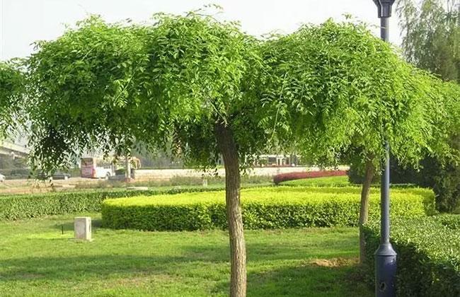 常用的苗木造型技术