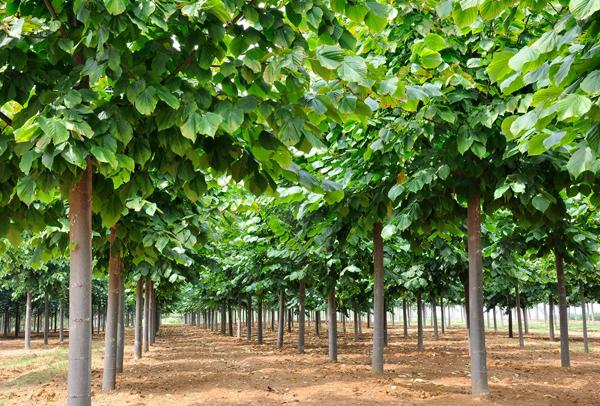 乡村绿化不可缺的树种!