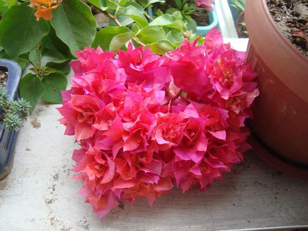 三角梅哪个品种最勤花