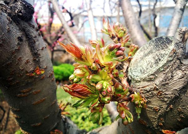 大樱桃树四月份管理技术要点