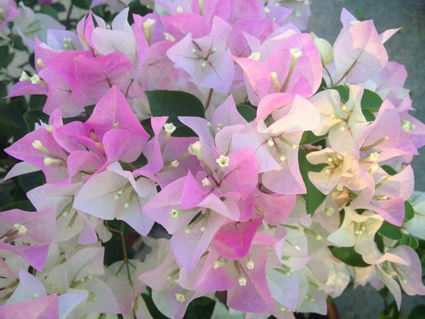 三角梅勤花品种