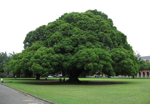 当前市场上的热门景观树,建议发展!