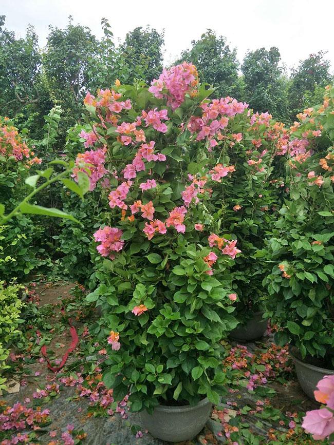 盆栽三角梅