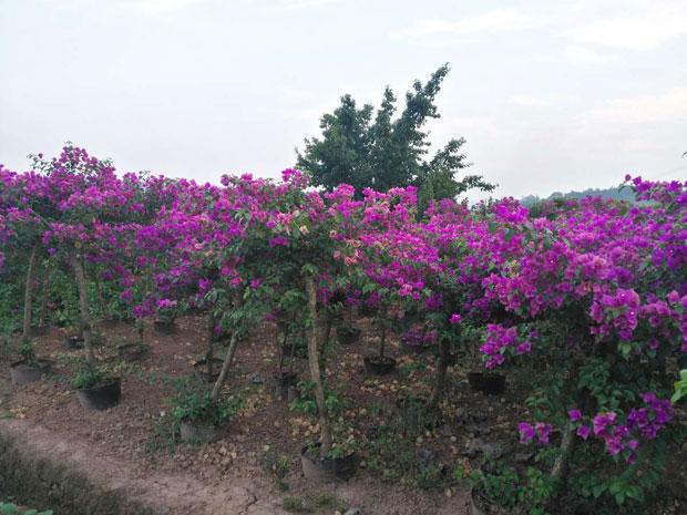 三角梅种植基地