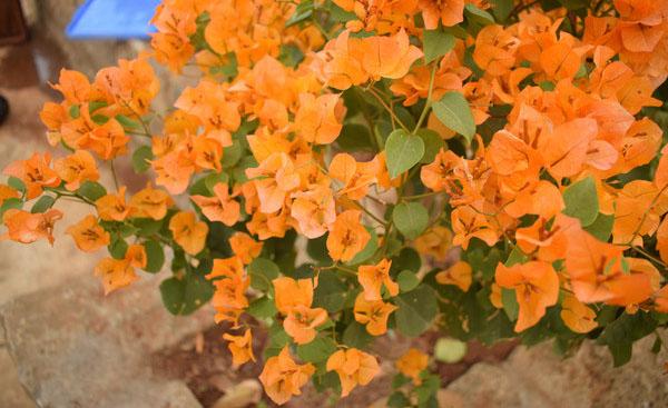 橙色三角梅