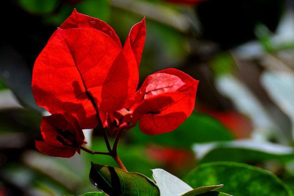 红色三角梅