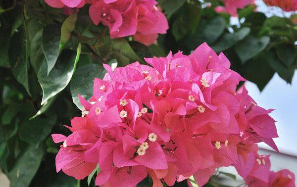 粉色三角梅