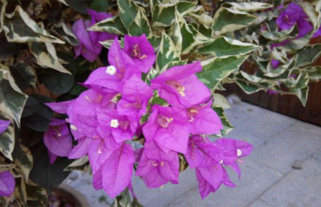 紫色三角梅
