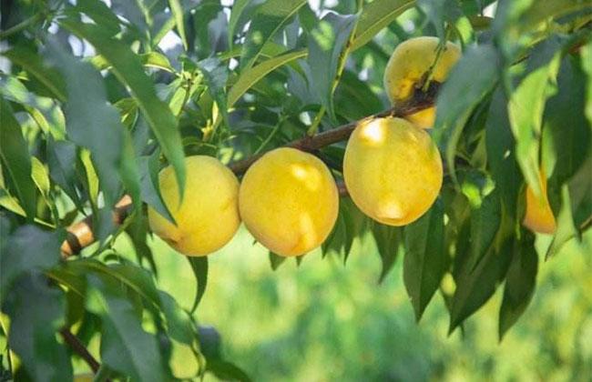 黄桃高产栽植技术