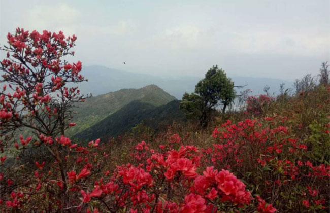 万亩红杜鹃进入盛花期 旅游前景好