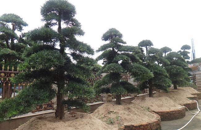 这十种金贵的高端苗木,你都了解吗?